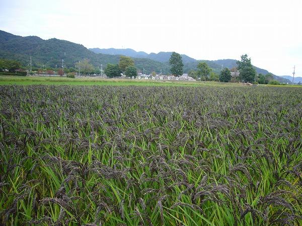 風景(緑米)